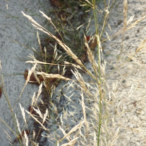 Photographie n°2322903 du taxon Agrostis capillaris L. [1753]