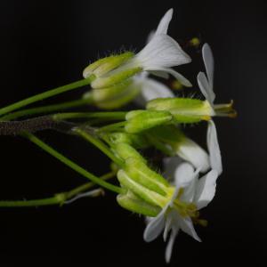 Photographie n°2322911 du taxon Arabis alpina L. [1753]
