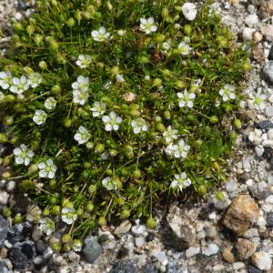 Photographie n°2322942 du taxon Sagina pilifera (DC.) Fenzl [1833]