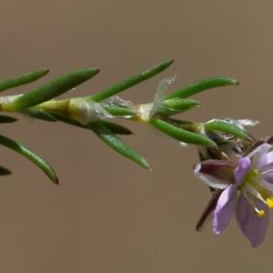 Photographie n°2322969 du taxon Spergula rubra (L.) D.Dietr. [1840]