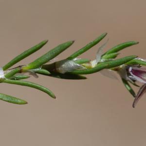 Photographie n°2322971 du taxon Spergula rubra (L.) D.Dietr. [1840]