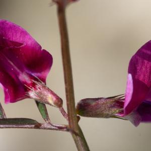 Photographie n°2323000 du taxon Vicia angustifolia L. [1759]