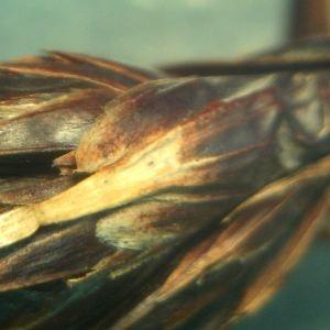 Photographie n°2323014 du taxon Schoenus nigricans L. [1753]