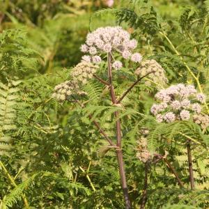 Photographie n°2323081 du taxon Angelica sylvestris L. [1753]