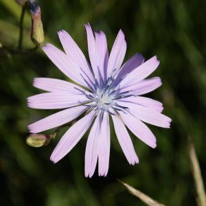 Photographie n°2323096 du taxon Lactuca perennis L.