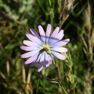 Photographie n°2323097 du taxon Lactuca perennis L.