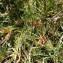 Sylvain Piry - Rhynchospora alba (L.) Vahl
