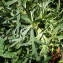 Sylvain Piry - Aconitum napellus subsp. vulgare (DC.) Rouy & Foucaud [1893]