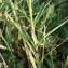 Sylvain Piry - Dianthus seguieri subsp. pseudocollinus (P.Fourn.) Jauzein