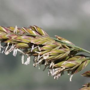 Photographie n°2323249 du taxon Festuca paniculata (L.) Schinz & Thell.