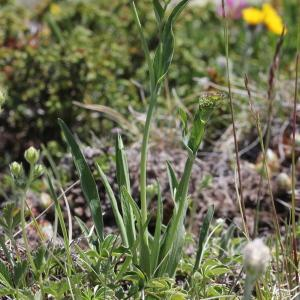 Photographie n°2323261 du taxon Bupleurum stellatum L. [1753]