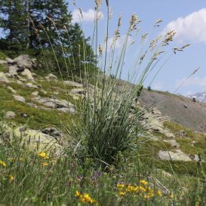 Photographie n°2323271 du taxon Festuca paniculata (L.) Schinz & Thell.