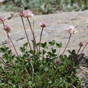 Photographie n°2323272 du taxon Trifolium thalii Vill. [1779]