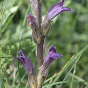 Photographie n°2323427 du taxon Orobanche purpurea Jacq. [1762]