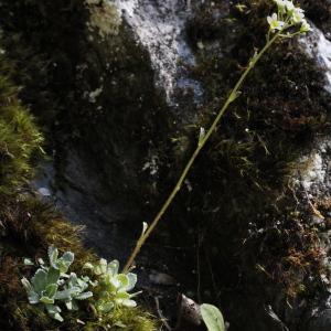 Photographie n°2323645 du taxon Saxifraga paniculata Mill.