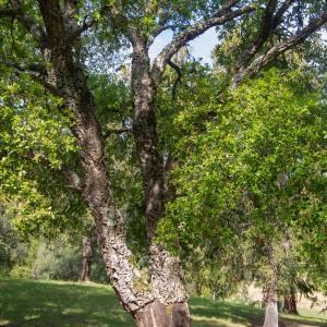 Photographie n°2323706 du taxon Quercus suber L. [1753]