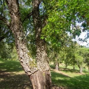 Photographie n°2323707 du taxon Quercus suber L. [1753]