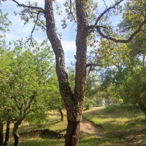 Photographie n°2323708 du taxon Quercus suber L. [1753]