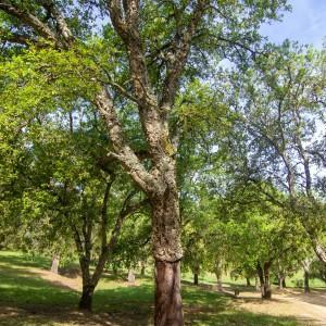 Photographie n°2323709 du taxon Quercus suber L. [1753]