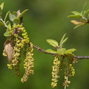 Photographie n°2323713 du taxon Quercus suber L. [1753]