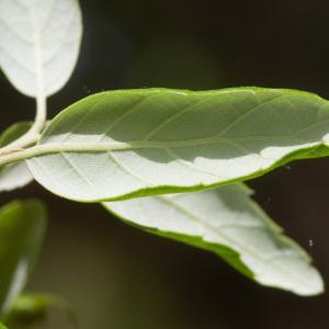 Photographie n°2323716 du taxon Quercus suber L. [1753]