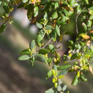 Photographie n°2323717 du taxon Quercus suber L. [1753]