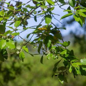 Photographie n°2323719 du taxon Quercus suber L. [1753]