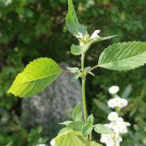 Photographie n°2323835 du taxon Galeopsis tetrahit L.