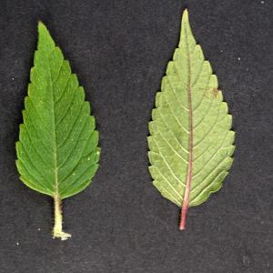 Photographie n°2323842 du taxon Galeopsis tetrahit L.