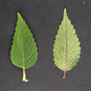 Photographie n°2323847 du taxon Galeopsis tetrahit L.