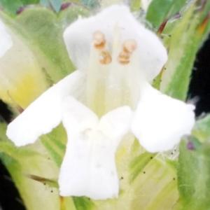 Photographie n°2323850 du taxon Galeopsis tetrahit L.