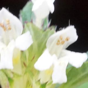 Photographie n°2323854 du taxon Galeopsis tetrahit L.