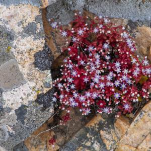 Photographie n°2324199 du taxon Sedum caeruleum L. [1771]