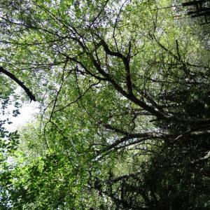 Photographie n°2324214 du taxon Prunus avium (L.) L. [1755]