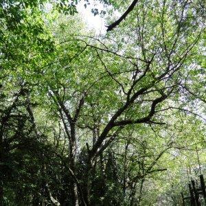 Photographie n°2324217 du taxon Prunus avium (L.) L. [1755]