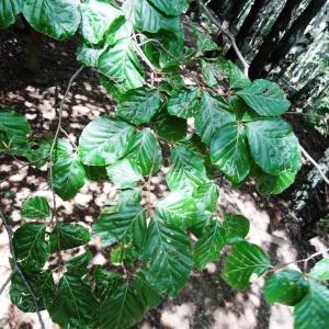 Photographie n°2324238 du taxon Fagus sylvatica L.