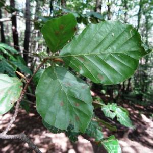 Photographie n°2324241 du taxon Fagus sylvatica L.
