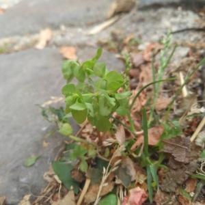 Photographie n°2324293 du taxon Euphorbia peplus L. [1753]