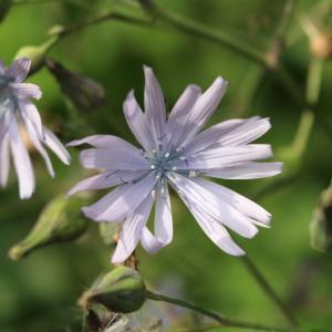 Photographie n°2324348 du taxon Lactuca L. [1753]