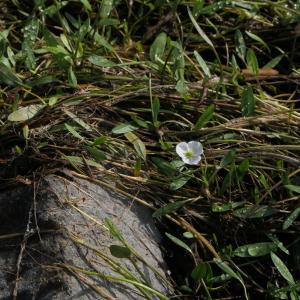 Photographie n°2324392 du taxon Baldellia repens (Lam.) Ooststr. ex Lawalrée