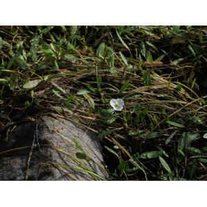 Baldellia repens (Lam.) Ooststr. ex Lawalrée