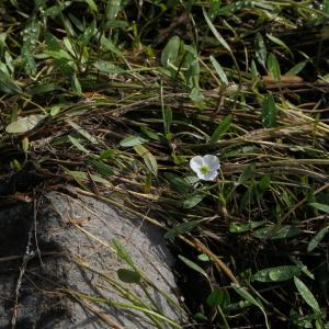 Photographie n°2324393 du taxon Baldellia repens (Lam.) Ooststr. ex Lawalrée