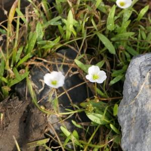 Photographie n°2324395 du taxon Baldellia repens (Lam.) Ooststr. ex Lawalrée