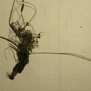 Photographie n°2324397 du taxon Baldellia repens (Lam.) Ooststr. ex Lawalrée