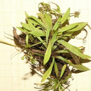 Photographie n°2324398 du taxon Baldellia repens (Lam.) Ooststr. ex Lawalrée