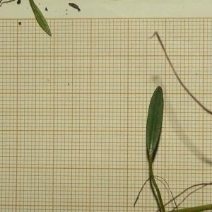 Photographie n°2324399 du taxon Baldellia repens (Lam.) Ooststr. ex Lawalrée