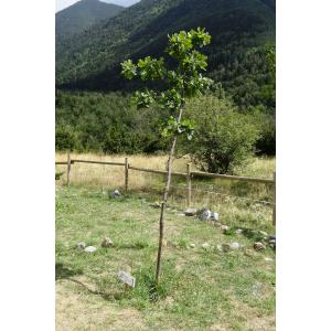 Quercus x anselmii Sennen (Chêne)