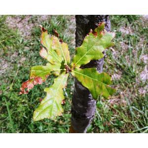 Quercus ×desmotricha O.Schwarz (Chêne)