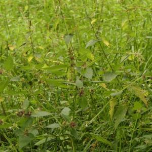 Photographie n°2324492 du taxon Galeopsis tetrahit L.