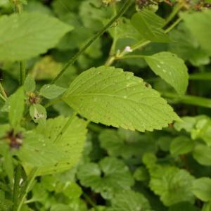 Photographie n°2324494 du taxon Galeopsis tetrahit L.